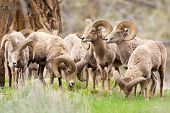 Big Horn Sheep Rams. Yellowstone National Park