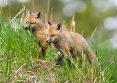 Red Fox Kits / pubs. Yellowstone National Park