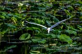A Beautiful Great White Egret Flying Among Lotus Water Lilies