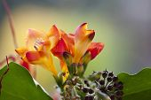 Close up on freesia flowers with shallow DOF