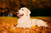 picture of fallen  - beautiful autumn portrait of a golden retriever dog - JPG