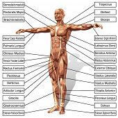 stock photo of triceps brachii  - A 3D male or human anatomy - JPG