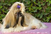 picture of dog breed shih-tzu  - A small young light brown balck and white tan Shih Tzu dog with a long silky coat sitting having its head coat braided - JPG