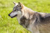image of north american gray wolf  - North American Gray Wolf - JPG