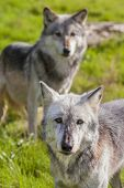foto of north american gray wolf  - Pair of Two North American Gray Wolves - JPG