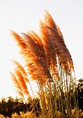 pic of pampas grass  - Pampas grass  - JPG