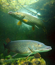 picture of musky  - Underwater photo of a big Northern Pike  - JPG