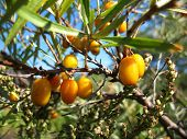 pic of sea-buckthorn  - There are sea-buckthorn tree and orange berries