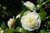 White Camellia Flowers