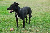 Black Dog Playing With Ball