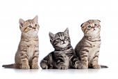 Three Funny Scottish Kittens Isolated On White Background
