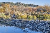 beaver dam on North Platte River  above Northgate Canyon near Cowdrey, Colorado, in a fall scenery