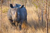 stock photo of rhino  - Rhino Charging in Kruger National Park - JPG