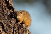 Tree squirrel (Paraxerus cepapi) sitting in a tree, Kruger National Park, South Africa