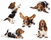 purebred basset hound, set of dogs