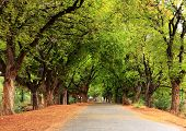 Beautiful village road in India, with tamarind tree both sides