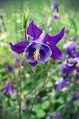 Beautiful Flower Of Aquilegia