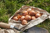 Bag Of Shallot Bulbs Ready For Planting