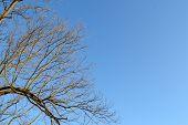 Bare Tree Limbs In Winter Below A Clear Blue Sky