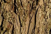 image of pecan tree  - Pecan Tree Bark Close up for background - JPG