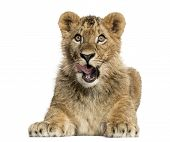 Lion cub lying and looking greedily