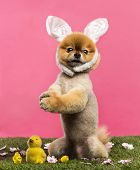 Groomed Pomeranian dog standing in grass on hind legs and wearing a rabbit ears headband in front of