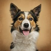Close-up of a Border Collie in front of a vintage background