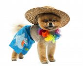 stock photo of pomeranian  - Pomeranian dog wearing short - JPG