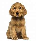 Cocker puppy sitting, looking at the camera, isolated on white