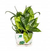 foto of sansevieria  - Sansevieria home in pots on a white background - JPG