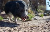 picture of farrow  - Pot bellied Pig yawning in the Mohave Desert - JPG