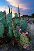 Prickly Pear Cactus At Sunset