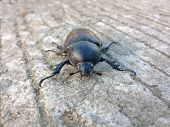 black Female stag beetle on concrete surface