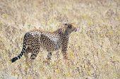 A Cheetah In The Etosha National Park 3