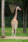 The Reticulated Giraffe (giraffa Camelopardalis Reticulata)