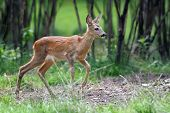 pic of roebuck  - Young roe deer standing in summer forest - JPG