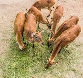 pic of deer family  - young deer eating grass in a zoo