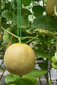 Yellow Melon On Field In Greenhouse.