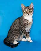 foto of blue tabby  - Tabby kitten with white spots sitting on blue background - JPG