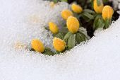 Beautiful Winter Aconite  / Eranthis Hyemalis/ In Snow