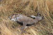 Dead Deer with Exposed Organs