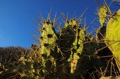picture of nopal  - Green Prickly Pear Cactus Leaf in the Desert - JPG