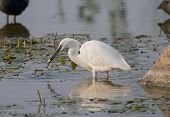 beautiful specimen of egret