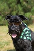 Big Black Schnauzer Dog Is Posing For The Camera