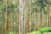 Eucalyptus forest.
