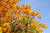 stock photo of indian apple  - Autumn apple - JPG