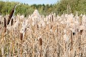 picture of bulrushes  - Dry Cattail  - JPG