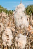 foto of bulrushes  - Dry Cattail  - JPG