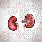 Kidneys On A Light Color Gears Background. Detailed Anatomy.