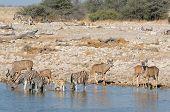 Zebras And Kudu Drinking Water